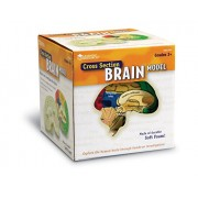 Learning Resources Cross Section Human Brain Model