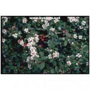 Cotoneaster dammeri - Skalník Dammerův oranžově červený