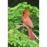 Red Cardinal in a Tree, Birds of the World: Blank 150 Page Lined Journal for Your Thoughts, Ideas, and Inspiration