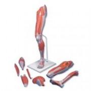 gamba con muscoli, modello di lusso, in 7 parti