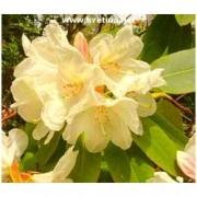 """Rhododendron hybrid """"Goldfort"""" - Rododendron, pěnišník"""