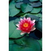 "Water Lily ""Attraction"""