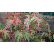 """Acer Japanese """"Taylor"""""""