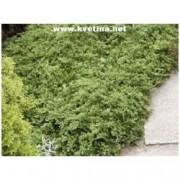 Juniperus horizontalis 'Wiltonii' - Jalovec polehlý Wiltonův