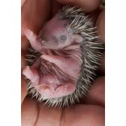 Baby Hedgehog Journal: 150 Page Lined Notebook/Diary