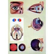 Ochiul uman - fiziologia vederii