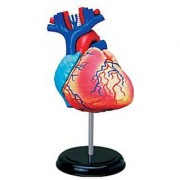 Human Heart Anatomy Model - 31 Parts Puzzle - Height - 5 inch