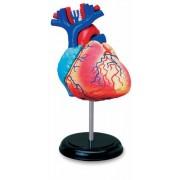 Learn about Human Anatomy - Heart Anatomy Model (Age 8+)