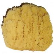Sjögrässvampen, 18-19 cm