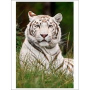 White Tiger In Grass (Playing Card Deck 52 Card Poker Size With Jokers)