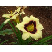Daylily 269 - Little Gypsy Vagabond