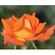 Trandafir Monika ( Theahibrid , 90-100 cm )