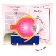 ETA hand2mind, Human Anatomy- Eye, Soft Foam Teacher Model, (92184)