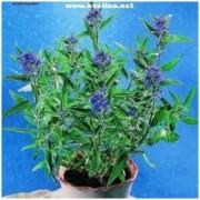 Caryopteris x clandonensis 'Heavenly Blue' - Ořechoplodec clandonský