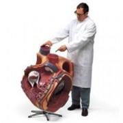 cuore gigante, ingrandito 8 volte