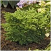 Picea mariana (omorica) 'Karel' - Zakrslý smrk Pančičův