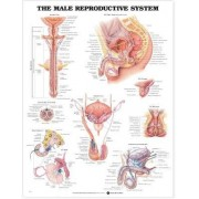 The Male Reproductive System Anatomical Chart by Anatomical Chart Company