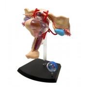 No.15 female genital anatomy model Skynet three-dimensional puzzle 4D VISION Human Anatomy (japan import)