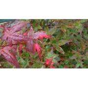 Acer palmatum Shin Deshojo