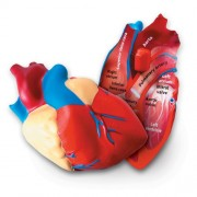 HUMAN HEART CROSSSECTION MODEL