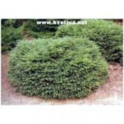 Picea abies 'Nidiformis' - Smrk ztepilý zakrsle hnízdovitý