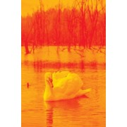 Swan on the Lake in Orange, Birds of the World: Blank 150 Page Lined Journal for Your Thoughts, Ideas, and Inspiration