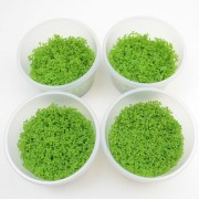 In Vitro Cup Hemianthus Callitrichoides - 4 Cups