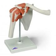3B Scientific A80 Modelo de anatomía humana Articulación del Hombro, Modelo Funcional