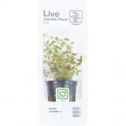 TROPICA Rotala rotundifolia (Pot)