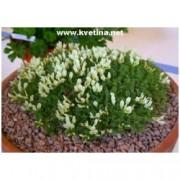 Astragalus angustifolius - Kozinec
