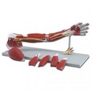 muscoli del braccio 7 parti - ingradimento 3x