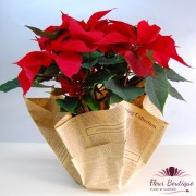Euphorbia Rosie AC010