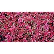 """Sedum album """"Coral carpet"""""""