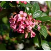 Pink Princess Escallonia