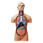 Skynet three-dimensional puzzle 4D VISION Human Anatomy No.SP Super Deluxe torso anatomical model (japan import)