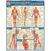 Muscular System Laminate Reference Chart by Vincent Perez