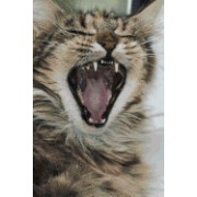 Maine Coon Cat Journal Singing the Song of My People - Stray Cat Strut!: 150 Page Lined Notebook/Diary