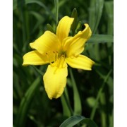 Daylily 253 - Sears Tower
