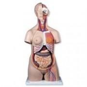 modello di lusso torso bisessuato - 24 parti - 87x38xh.25cm