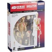 No.08 systemic skeletal anatomy model Skynet three-dimensional puzzle 4D VISION Human Anatomy (japan import)