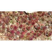 Sempervivum red