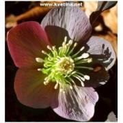 Helleborus purpurascens - Čemeřice