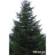 Brad natural de Craciun nordmann TOP QUALITY 450-500 cm