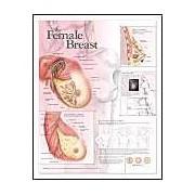 Female Breast Anatomical Chart