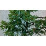 Pinus omorika FrohLeiten