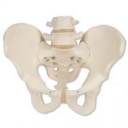 3B Scientific A60 Modelo de anatomía humana Esqueleto de la pelvis, masculino