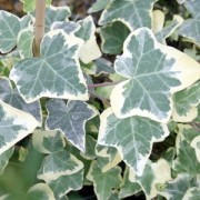 English Ivy - Variegated