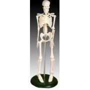 Model ludzkiego szkieletu 42 cm