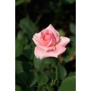 Rose 002 - Light Pink