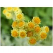 """Helichrysum hybrid /tianschanicum/ """"Schwefellicht"""" - Smil"""